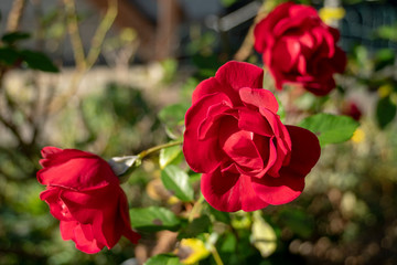rote Rose