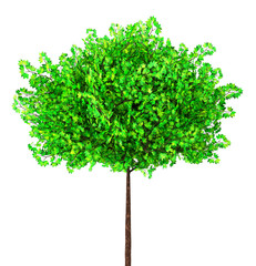 green maple tree isolated on white, 3d illustration