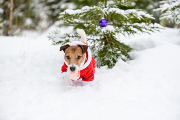 Dog wearing Santa Clauses costume decorating with baubles Christmas tree in forest
