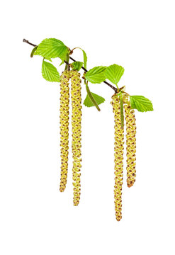 Birch catkins on white background