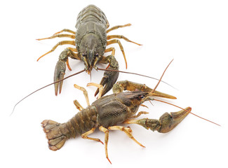 Two river crayfish.