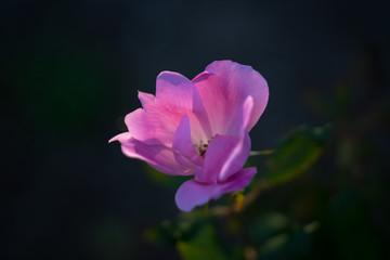 夕日で輝く花