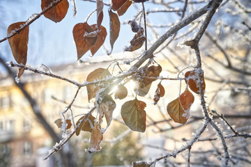 Yellow autumn leaves covered with snow in the rays of the winter sun