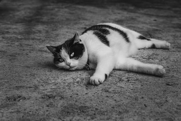 A black and white photo of a beautiful adult young black and white cat with big eyes on a gray concrete surface
