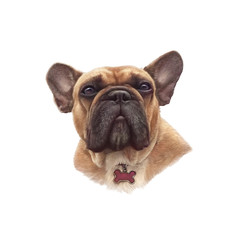 French bulldog isolated on white background. Realistic Portrait of Boxer dog. Hand Painted Illustration of Pets. Animal artcollection: Dogs. Design template. Good for banner, print T-shirt, pillow.