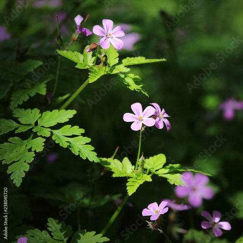 Fleur Sauvage Mauve Stock Photo And Royalty Free Images On Fotolia