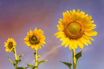 Beauty of full bloom sunflower, natural landscape background