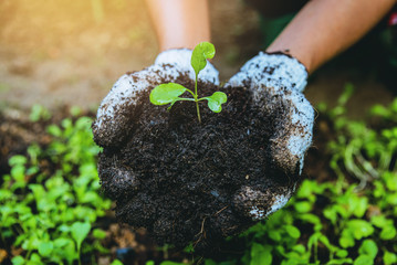Woman asia plant agriculture vegetable. Women dig into soil the vegetable garden cultivation and separate the early growth. plant vegetable Chinese cabbage