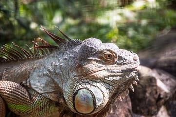 iguana, lizard, reptile, animal, green, nature, wildlife, dragon, green iguana, wild, zoo, head, eye, animals, pet, tropical, closeup, skin, portrait, scale, iguana iguana, macro, creature, reptiles