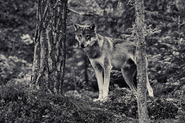 wild wolf in the forest