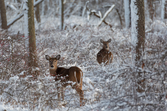 Deers in forest with frosted bushes