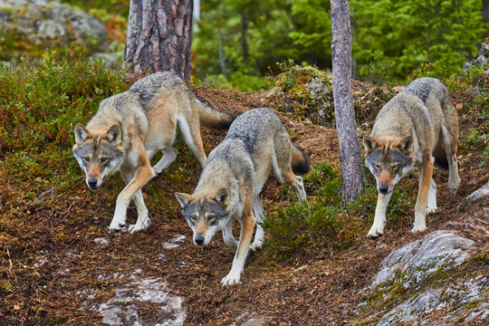 group of wolves in hunt