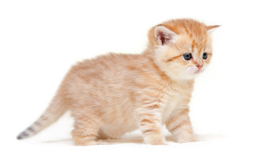 Charming ginger striped British kitten stands on four legs on a white isolated background.