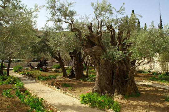 Olive trees in the garden of Gethsemane, Jerusalem