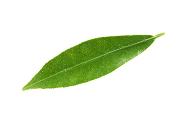 Fresh green tangerine leaf on white background