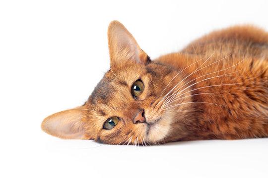 Somali cat ruddy color on white background