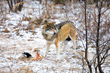 Magnificent wolf standing over a piece of meat in the forest