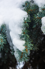 Green fluffy fir tree branch in the snow