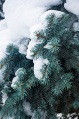 Green fluffy fir tree in the snow