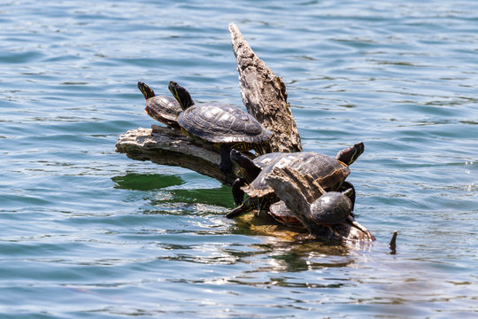 group of turtles on a log