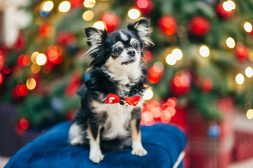 little cute pet chihuahua dog in glasses and bowtie in christmas decoration