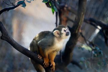 Squirrel Monkey Treed