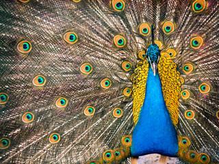 Fototapeta premium Kolorowy paw i jego wspaniały ogon.