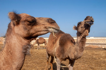 Domestic camels in field
