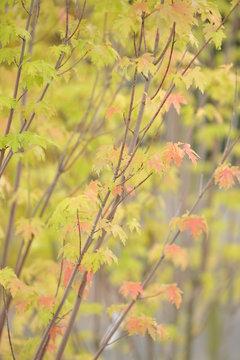 Acer saccharinum érable