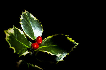 Holly with red christmas berries