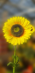 Flower of sunflower
