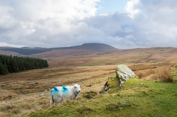 sheep in the mountains (brecon beacons national park, wales)