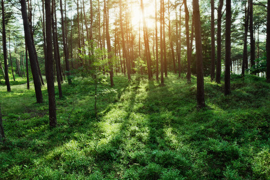 Pine forest at sunrise. Evergreen pinewood with Scots or Scotch pine Pinus sylvestris trees backlit by the sun and green bilberry plants on the forest floor in Pomerania, Poland.