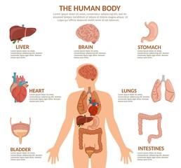 Infographics of human organs anatomy body cartoon vector illustration and anatomy poster