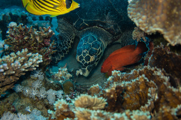 Diving trip: Sea turtle eating corals on the reef near El Quseir in Egypt