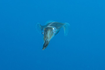 Squid floating in the pelagic sea searching for bait, Red Sea in Egypt
