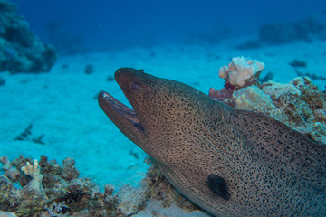 Divetrip to El Quseir: Large Moray eel lurking behind a sandy hill on the bottom of the reef of the Red Sea in Egypt