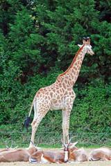 Girafe dans un parc