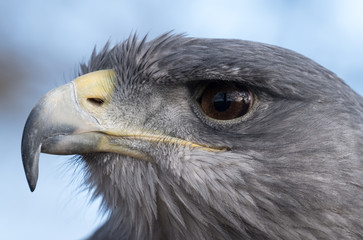 Close up portrait of a blue eagle, photographed at the English School of Falconry, Herrings Green Farm, Bedfordshire UK