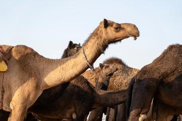 Camel in desert Thar during Pushkar Camel Fair, Rajasthan, India