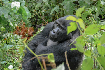 Alpha mountain gorilla pondering the sky in Bwindi Impenetrable forest