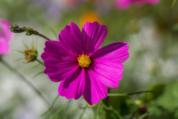 purple Cosmos bipinnatus flower