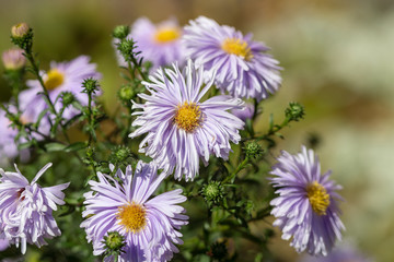 asters in the garden closeup