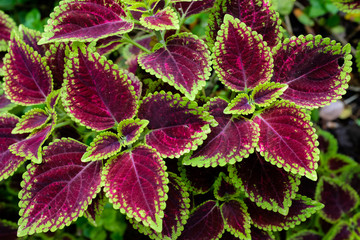 Close up green and red coleus solenostemon hybrida leaves background in a garden