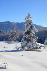einzelner verschneiter Tannenbaum