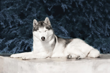 A sleepy mature Siberian husky female dog is lying down on marble floor near a fir tree. The background is grey. A bitch has grey and white fur, her eyes are closed.