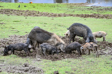 Pigs foraging for food in a field in the rural Andes of Peru