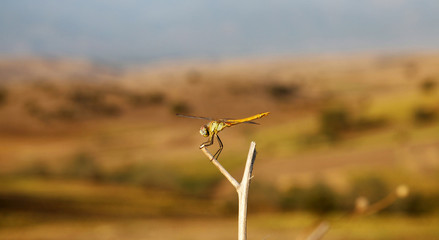 Yellow Dragonfly on branch