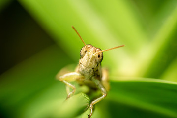 Meadow grasshopper, grasshopper