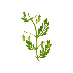 Flowering chickpea plant with green leaves. Leguminous culture. Agricultural crop. Flat vector design